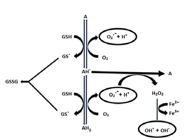 Cyclic oxidation-reduction reactions among alloxan and dialuric acid. A- Alloxan, AH. -Alloxan free radical, AH2-Dialuric acid, GS. -Glutathione free radical, GSSG-Glutathione after oxidation, OH.–Hydroxyl free radical, O2.--Superoxide free radical.
